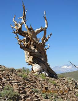 Description: iconicbristlecone.jpg