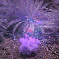 SiOnyx Aurora Cycad Fluorescence in Ultraviolet Light