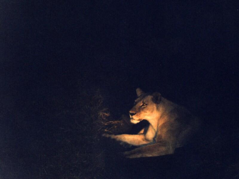 My Lion Botswana 1998