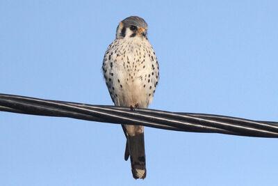Halconcito Colorado (Falco sparverius)
