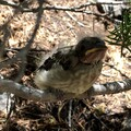 young Western Tanager