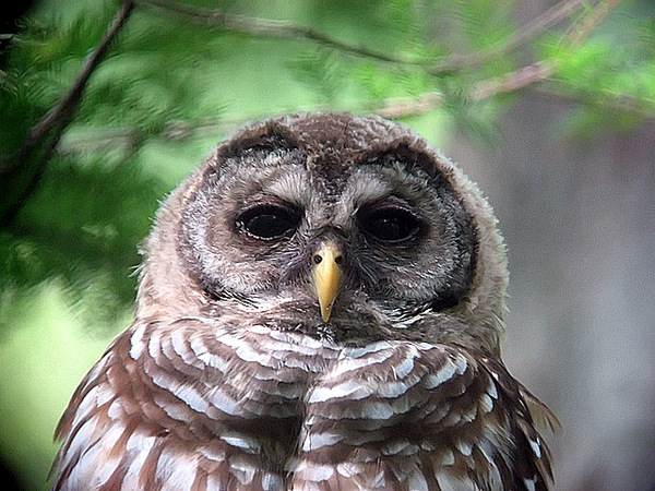 juvenille barred owl