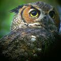 "Great Horned Owl w/orion 5"" mak and p&s camera"