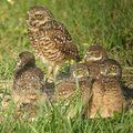 burrowing owl family