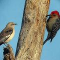 mocking bird and red bellie woodpecker