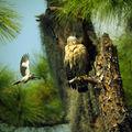 mockingbird striking red shoulder hawk