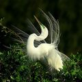 great egret on display