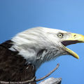 'ticked' bald eagle