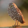 burrowing owl w/orion mak