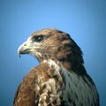 "redtail hawk with canon p&s/orion 5"" mak"