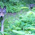 Eastern Red Wolf with young