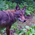 Eastern Red Wolf