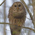 Barred Owl No.2