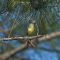 Great crested Flycatcher w/Snakeskin