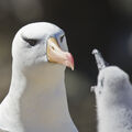 Albatross Parent-Chick
