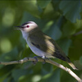 Red eyed Vireo Cn