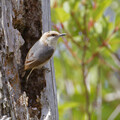 Brown-crested Nuthatch