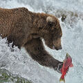 Young Brown Bear snags Sockeye Salmon