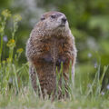 Ground Hog (Smith Lake Jake)