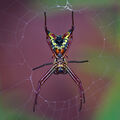Spiny Micrathena