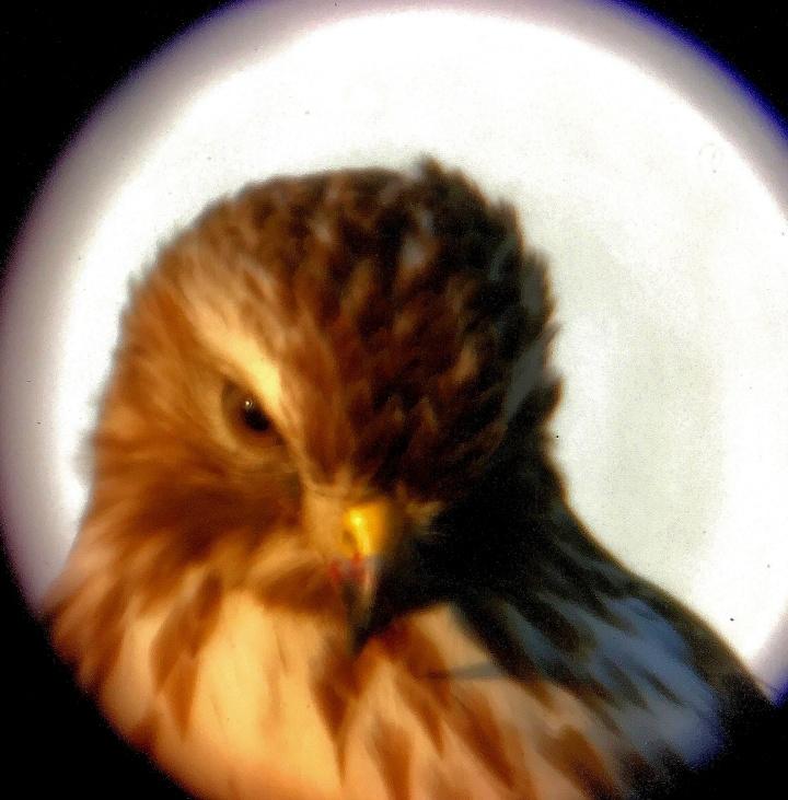 Redtail Hawk 5.jpg
