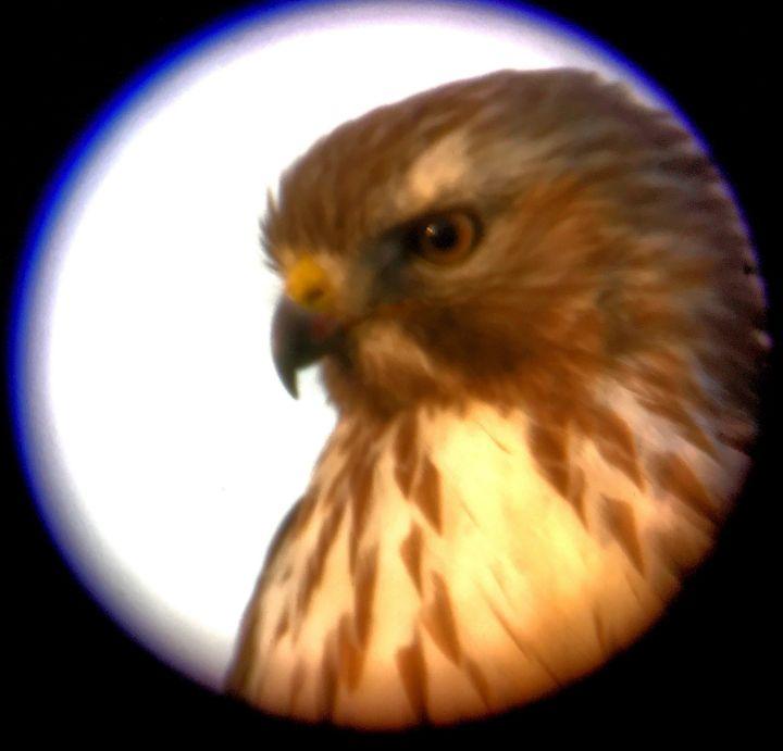 Redtail Hawk 3.jpg
