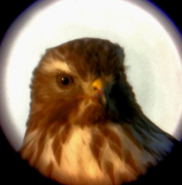 Redtail Hawk 7.jpg