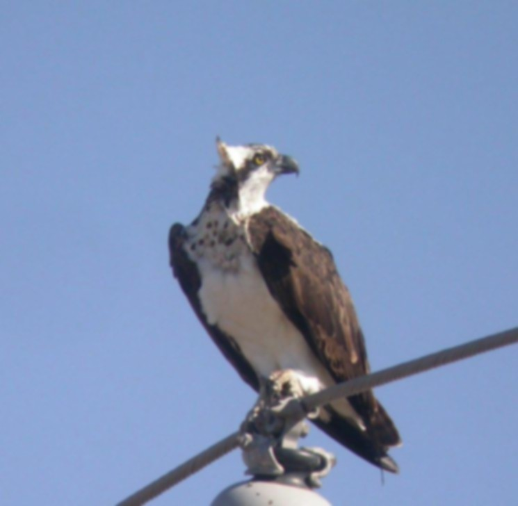 Osprey out of focus 1.jpg