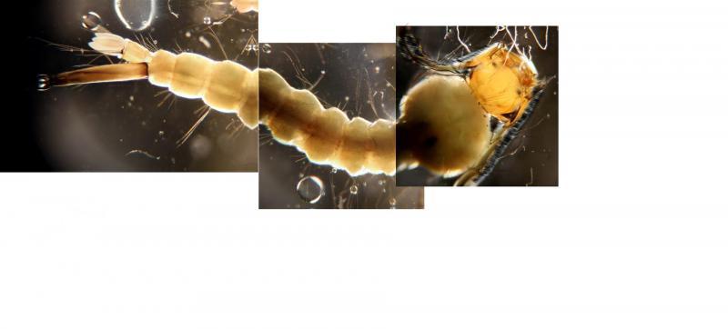 6408308-mozzielarvacompositex (Large).jpg