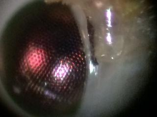 6630546-Lacewing compound eye.JPG