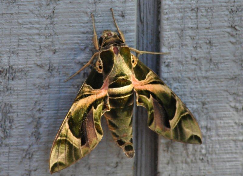 Huge, ultimate cool moth.jpg