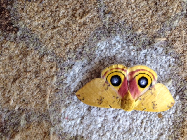 Io moth.JPG