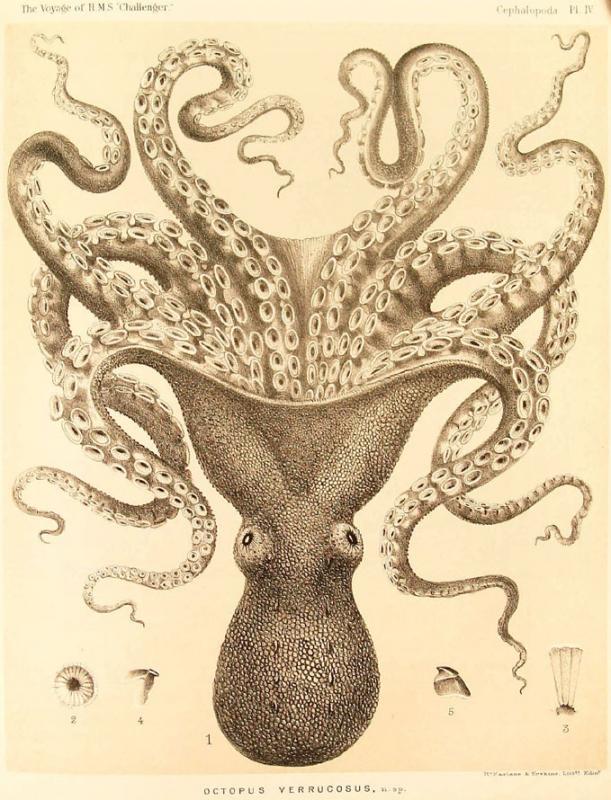 103 octopus.jpg
