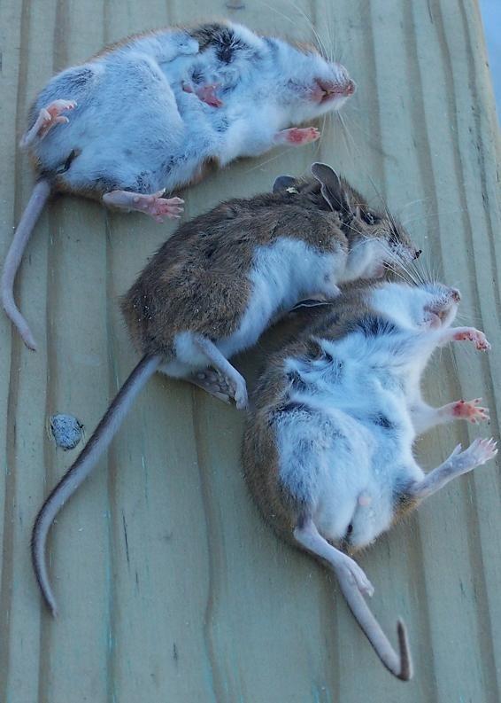 83 mice.jpg