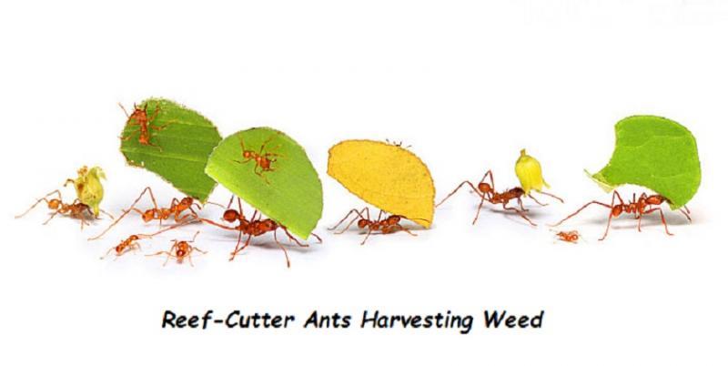 172.2 reef-cutter ants.jpg